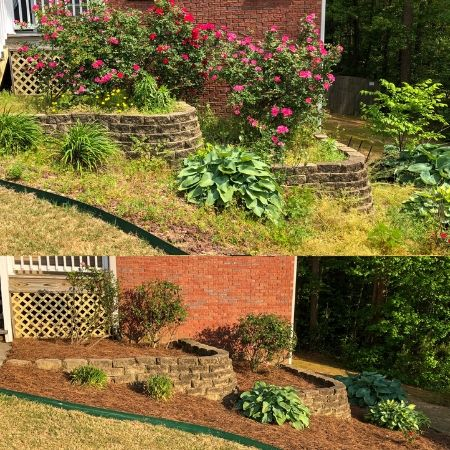 Before and after a landscape renovation including shrub pruning and pine straw installation.