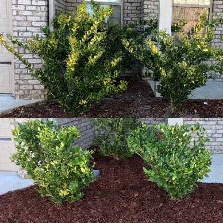 Before and after of front bushes being pruned in a mulch bed.