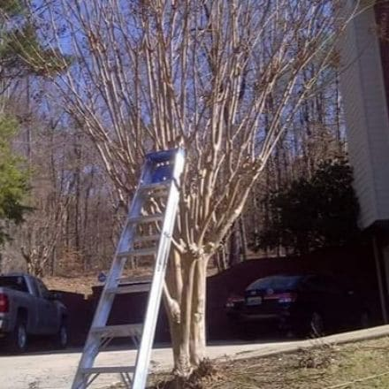 A ladder leaning on a Crape Myrtle next to a driveway.
