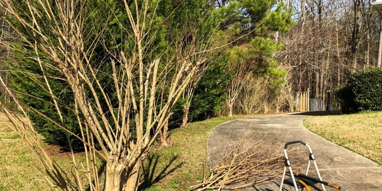 A Crape Myrtle pruned with branch on groung next to a driveway step ladder and pruning sheers.