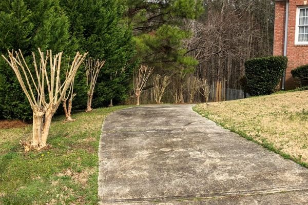 Crepe Myrtle trees after a professional pruning service.