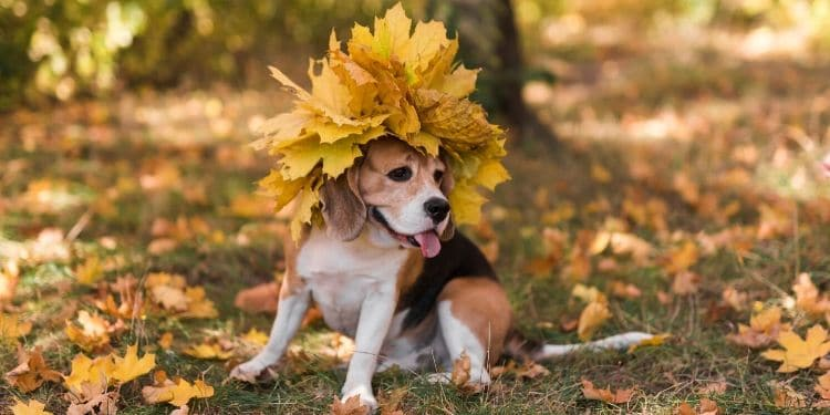 Cute beagle puppy with yellow leaves as a mohawk.