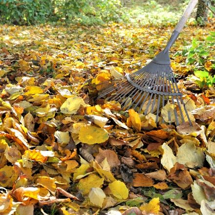 Metal rake cleaning up a pile of yellow leaves.